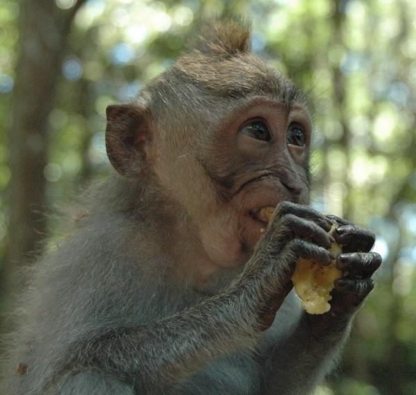 Savez-vous comment on capture les singes dans certains pays ? On place une orange dans une citrouille. Le singe y glisse sa main. Il saisit le fruit, mais n'arrive plus à ressortir sa main. Refusant de lâcher son butin, il reste là, coincé. Et on le capture.